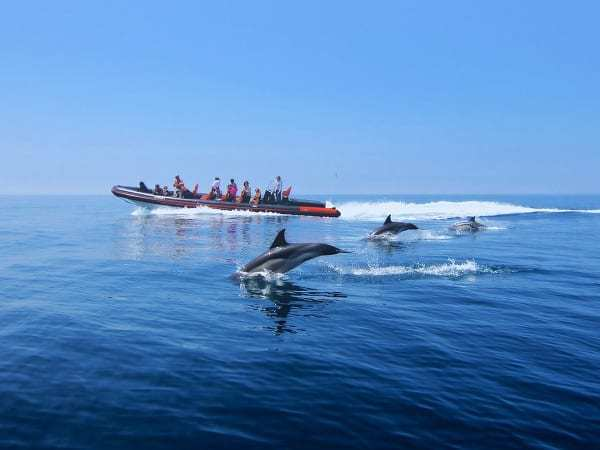 3 dolphins in front of a RIB boat.